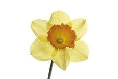 Enige geïsoleerde gele narcis Stock Foto's