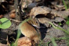 Enige Gestreepte veldmuis op een grond tijdens lentetijd Royalty-vrije Stock Afbeeldingen