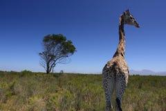 Enige giraf Royalty-vrije Stock Foto