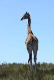 Enige giraf Stock Afbeeldingen