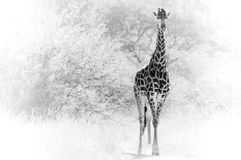 Enige giraf Stock Afbeelding