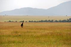 Enige giraf die de savanne kruist stock foto's
