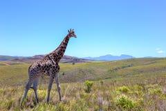 Enige giraf die door savanah lopen Stock Foto's