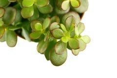 Enige groene succulente installatie Stock Foto's