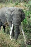 Enige grote Afrikaanse olifant, Ngorongoro-Krater, Tanzania royalty-vrije stock fotografie