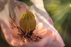 Enige grote bloem van witte papaver op een gebied stock foto's