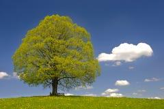 Enige grote lindeboom Royalty-vrije Stock Foto