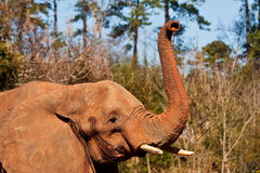 Enige Grote Olifant Stock Afbeeldingen