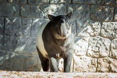 Enige grote tapir royalty-vrije stock afbeeldingen