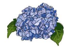 Enige hand getrokken blauwe lilac hydrangea hortensia op witte achtergrond De zomer Uitstekende Bloeiende Hydrangea hortensia, ha vector illustratie