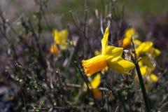 Enige heldere, gelukkige, vrolijke, gele gouden en oranje speciale unieke de gele narcisbol die van de lentepasen in buitentuin b stock afbeelding