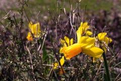 Enige heldere, gelukkige, vrolijke, gele gouden en oranje speciale unieke de gele narcisbol die van de lentepasen in buitentuin b royalty-vrije stock fotografie