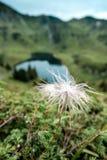 Enige het bloeien witte alpina van pasque-bloempulsatilla met royalty-vrije stock afbeelding