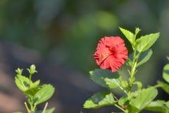 Enige hibiscusbloem Stock Afbeelding