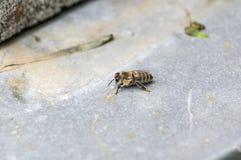 Enige honingbijzitting op een grijs ondergronds Royalty-vrije Stock Fotografie