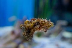Enige Inktvissen Stock Foto