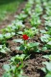 Enige installatie met bloem in de lentebloembed. Royalty-vrije Stock Foto's