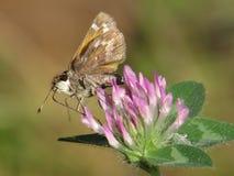 Enige Kapiteinsvlinder die Nectar Red Clover verzamelen Stock Foto's