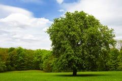 Enige kastanjeboom op groene weide Stock Foto's