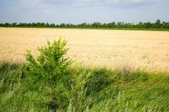 Enige kleine boom en tarwe Royalty-vrije Stock Fotografie