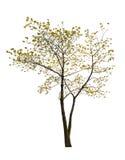 Enige kleine de lente geïsoleerdew esdoornboom royalty-vrije stock foto's