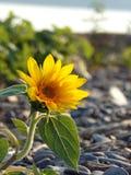 Enige kleine gele zonnebloem op lakeshorestrand Royalty-vrije Stock Afbeelding