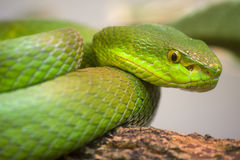 Enige kleurrijke groene slang royalty-vrije stock foto
