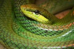 Enige kleurrijke groene slang royalty-vrije stock foto's
