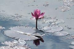 Enige lotusbloembloem in vijver Stock Afbeelding