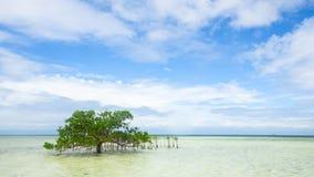 Enige mangrove in ondiep water stock foto's