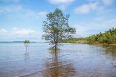 Enige Mangroveboom die in zout water dichtbijgelegen kweken het strand in de middag in Koh Mak Island in Trat, Thailand royalty-vrije stock afbeelding