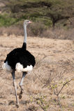 Enige mannelijke Struisvogel Samburu Stock Foto