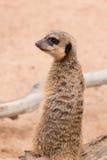 Enige meerkat bevindt zich rechtop lettend op voor roofdieren Stock Afbeeldingen