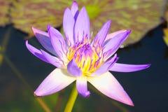 Enige mooie purpere lotusbloembloem, met geel centrum, in een mooie kleine vijver in een Thais park stock fotografie