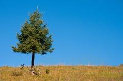 Enige naaldboom met wolkenloze blauwe hemel Stock Afbeeldingen