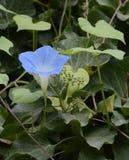 Enige Ochtend Glory Blossom in de Kloostertuin van Abu Ghos Stock Foto