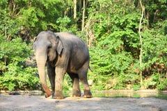 Enige olifant die zich met bosachtergrond bevindt. Stock Foto