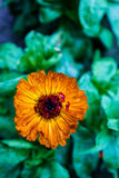Enige oranje bloem royalty-vrije stock afbeelding
