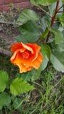 Enige oranje bloesem stock foto