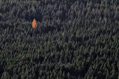 Enige oranje boom in groen bos royalty-vrije stock fotografie