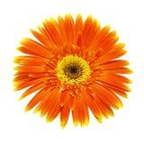 Enige oranje die chrysant (gerbera) op witte achtergrond wordt geïsoleerd Royalty-vrije Stock Afbeeldingen