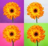 Enige oranje gerberabloem op verschillende achtergronden Stock Afbeelding
