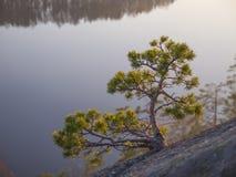 Enige pijnboom boven de rots. Stock Foto's