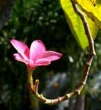 Enige Plumeria stock afbeeldingen