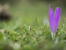 Enige purpere bloem in het gras stock fotografie