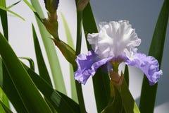 Enige purpere en witte gebaarde horizontale iris - Stock Foto's