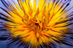 Enige purpere lotusbloembloesem of Lotus Royalty-vrije Stock Fotografie