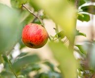 Enige rode appel binnen uit nadrukbladeren van boom Royalty-vrije Stock Fotografie
