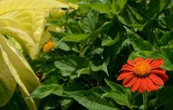 Enige rode bloem, Zinnia Royalty-vrije Stock Afbeeldingen