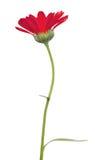 Enige rode die goudsbloembloem op wit wordt geïsoleerd Stock Foto